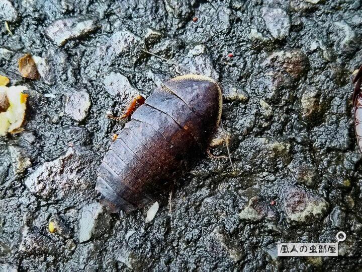 サツマゴキブリの情報