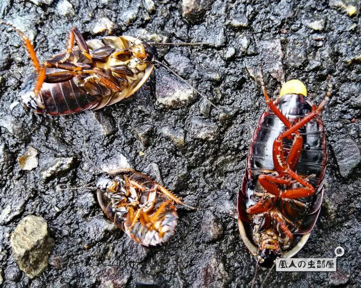 サツマゴキブリが集団で死んでいる