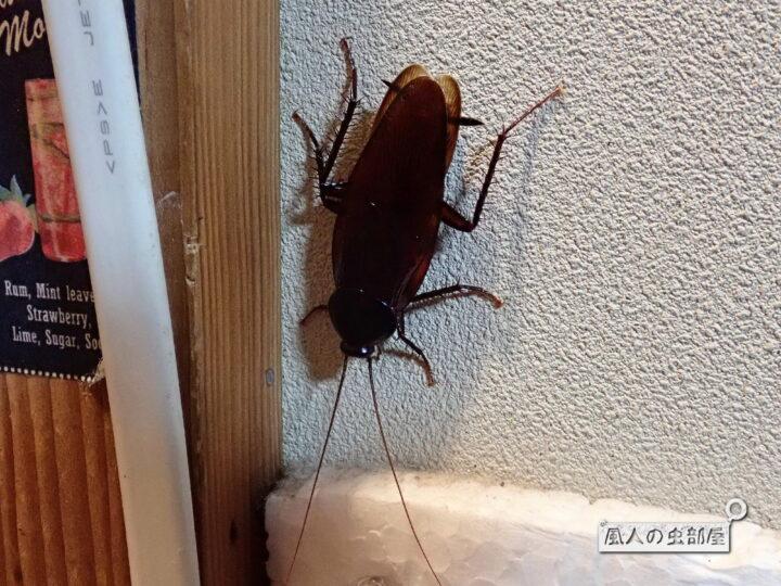 家の中のクロゴキブリ