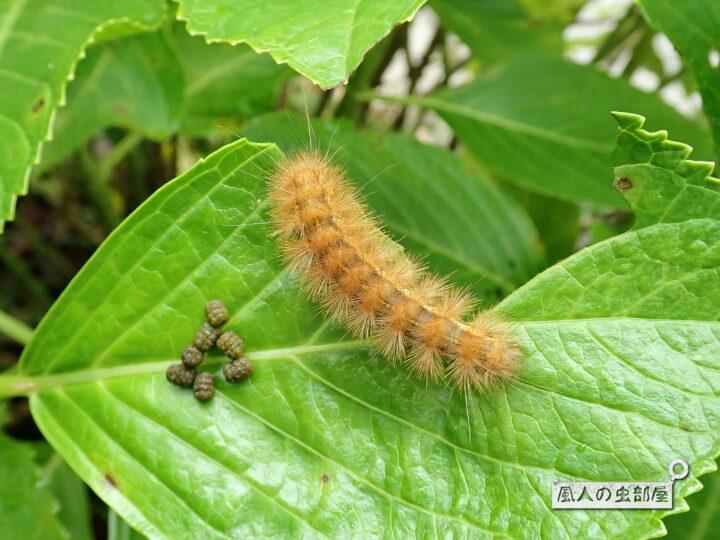 スジモンヒトリの幼虫の生態