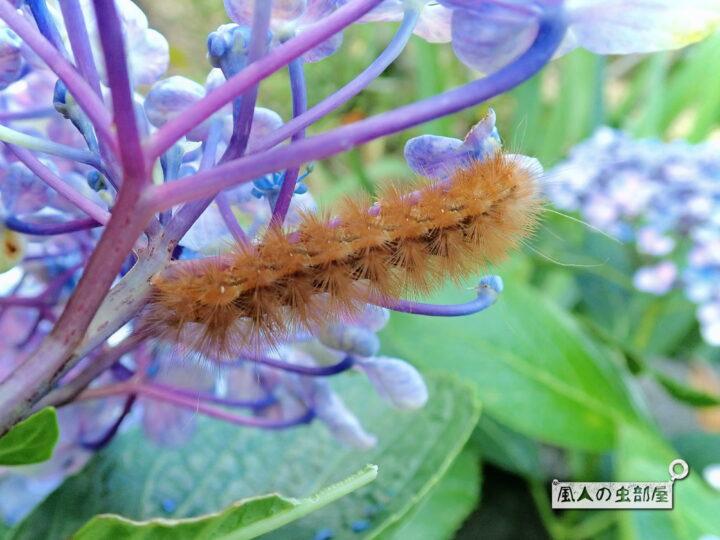 アジサイを食べるスジモンヒトリの幼虫