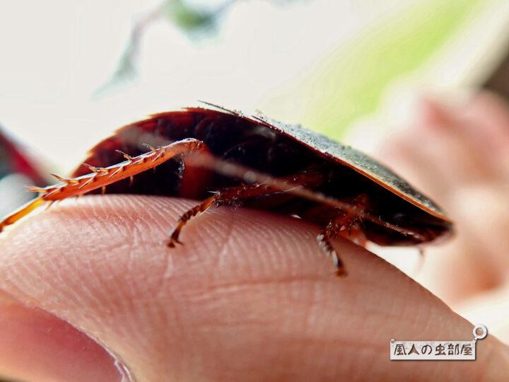 サツマゴキブリは薬になる
